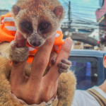 Loris | Global Animal Welfare Development Society | Brad Anthony