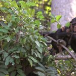 Chimpanzee Rehabilitation Project