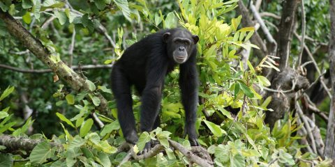 Chimp in Gambia