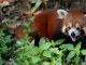 Red Panda Found in Myanmar