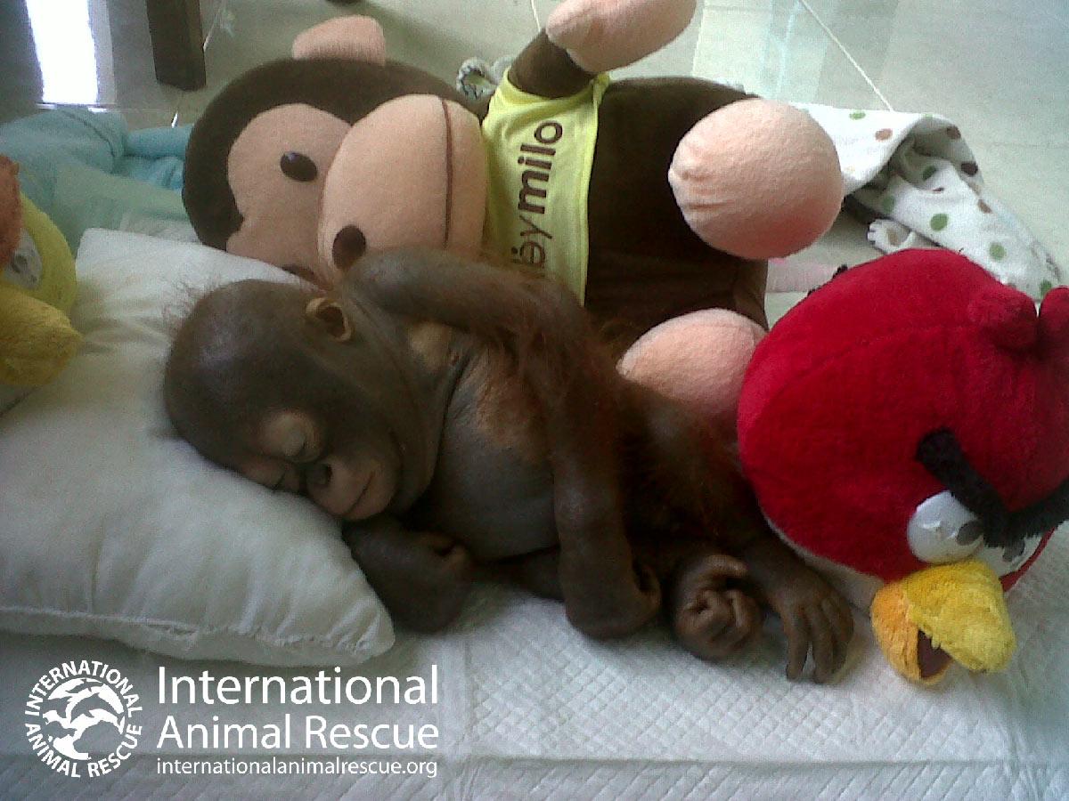 Save Budi | International Animal Rescue
